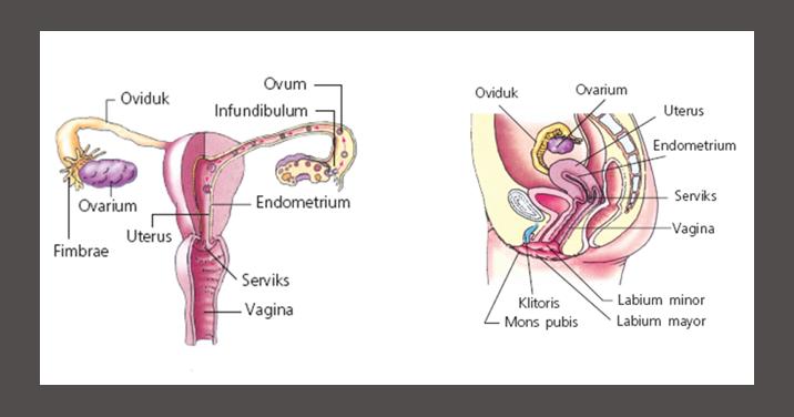 Struktur Alat Reproduksi Wanita Beserta Fungsinya
