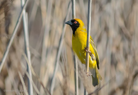 Southern Masked Weaver - Perched Bird Photography - Table Bay Nature Reserve Woodbridge Island
