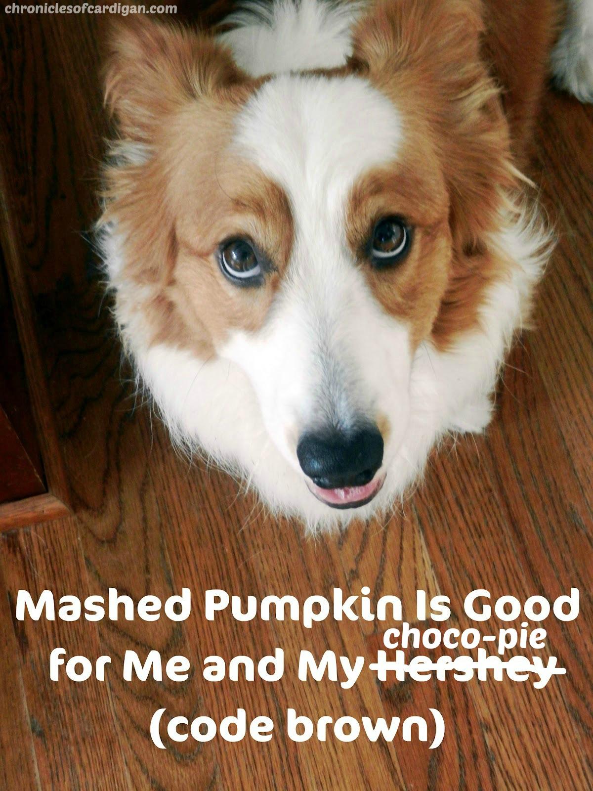 Can I Feed My Dog Pumpkin Pie