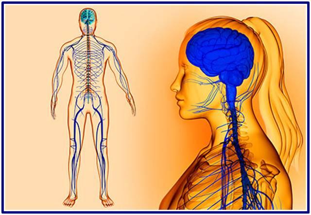 Conceptos sobre el Sistema Nervioso para aprender