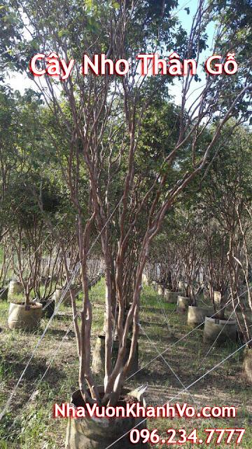 Đăng tin rao vặt: Một số điều cần biết về loại cây xuất xứ từ Nam Mỹ đang được ưa chuộng Vuon-cay-nho-than-go-gia-re-tphcm