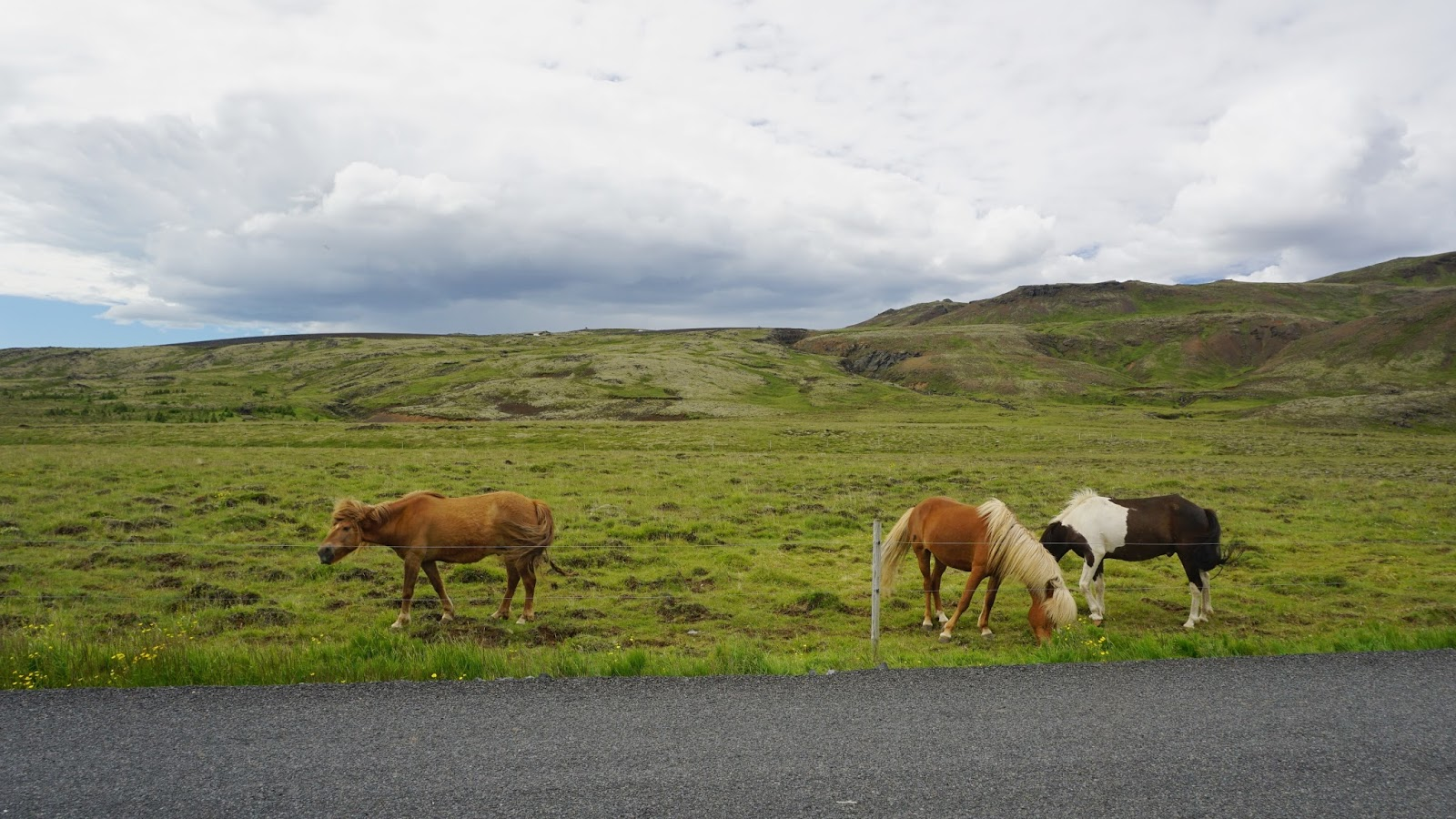 konie islandzkie, kuce islandzkie, konie, Islandia