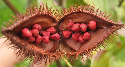 Fruto de achiote
