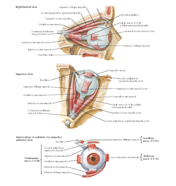 Extrinsic Eye Muscles Anatomy