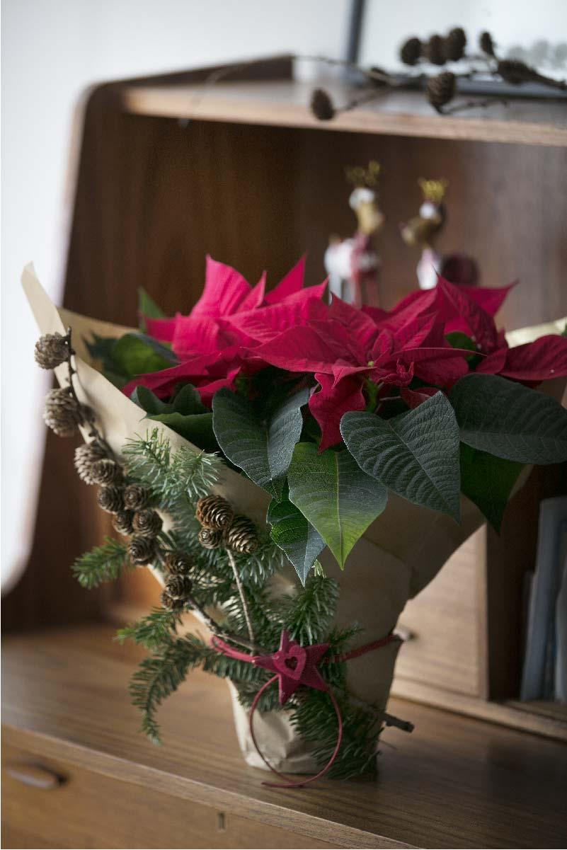 Stella Di Natale Cura E Manutenzione.E Il Momento Delle Stelle Di Natale Consigli Per Comprare La