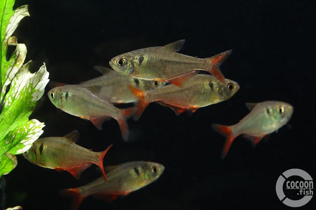 Hyphessobrycon sp. Narino