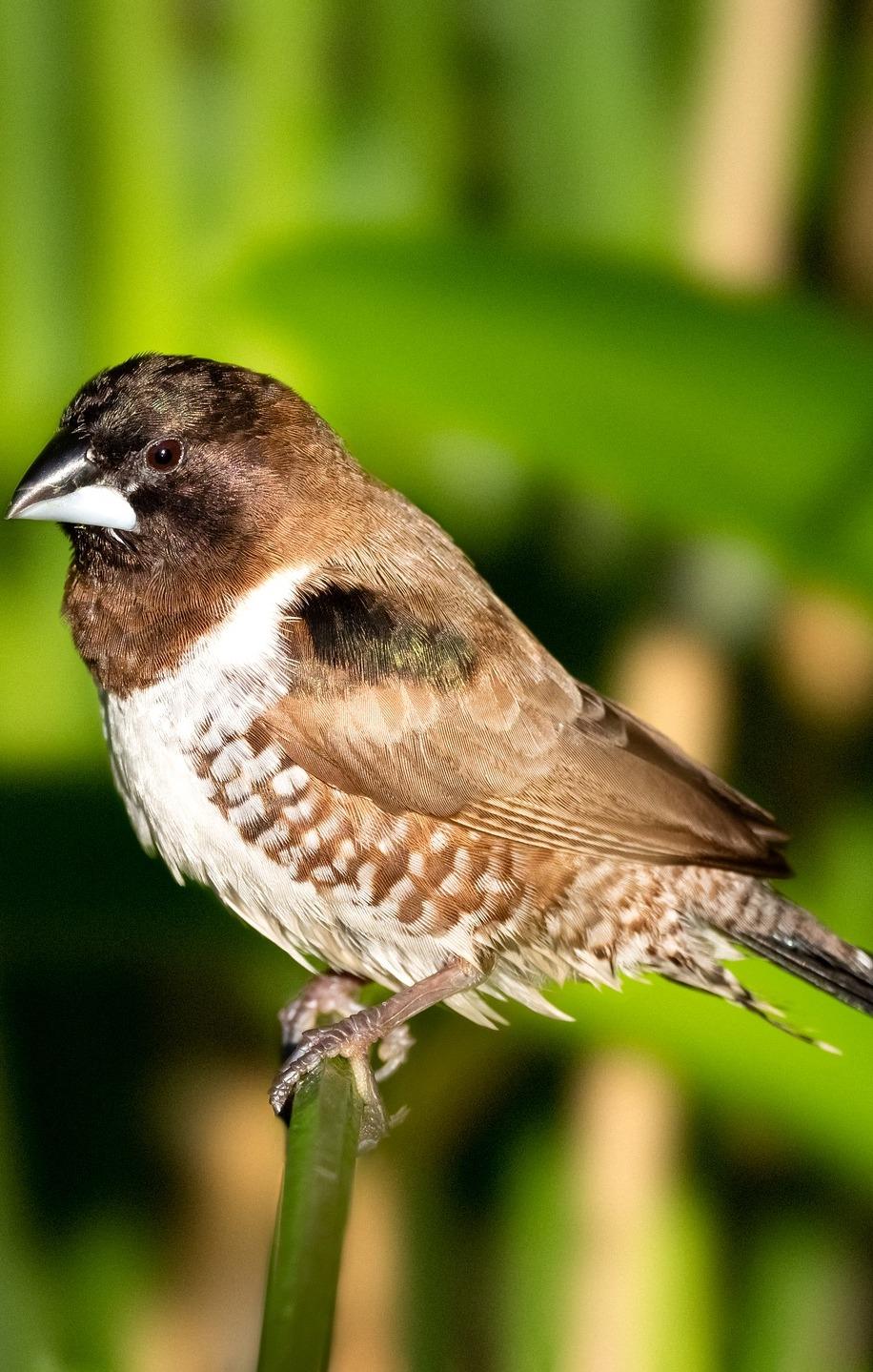 Picture of a bronze mannikin bird.