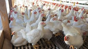 Poultry sector hits an all-time low in 2019.