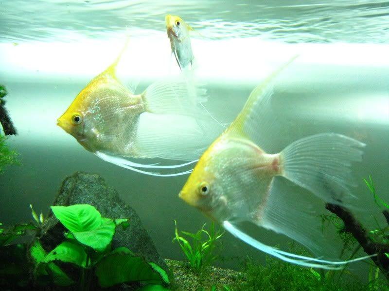 harga jual ikan manfish
