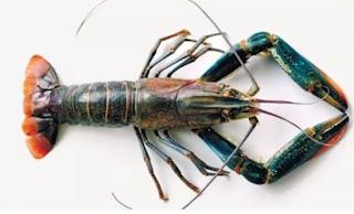 Lobster air tawar Cherax quadricarinatus merupakan famili d Kabar Terbaru- LOBSTER AIR TAWAR