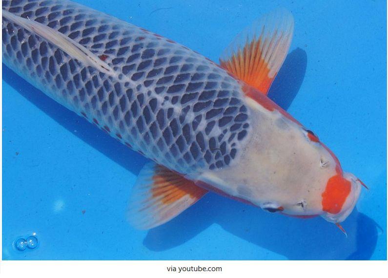 Jenis-Jenis Ikan Koi Asagi