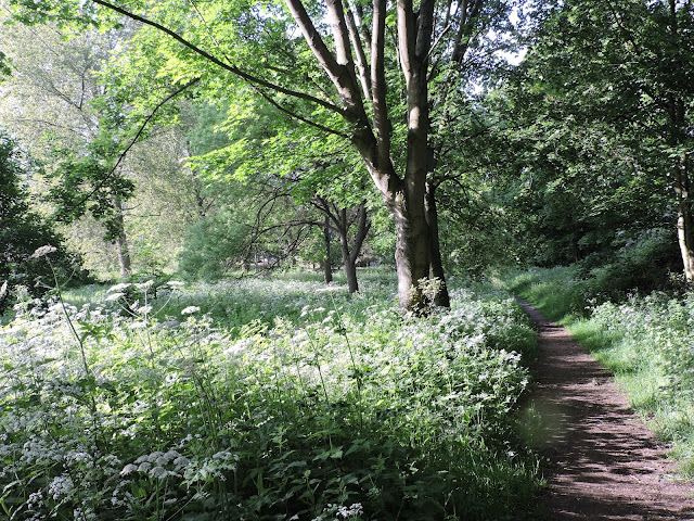 Path running between trees, lined with cow parsley