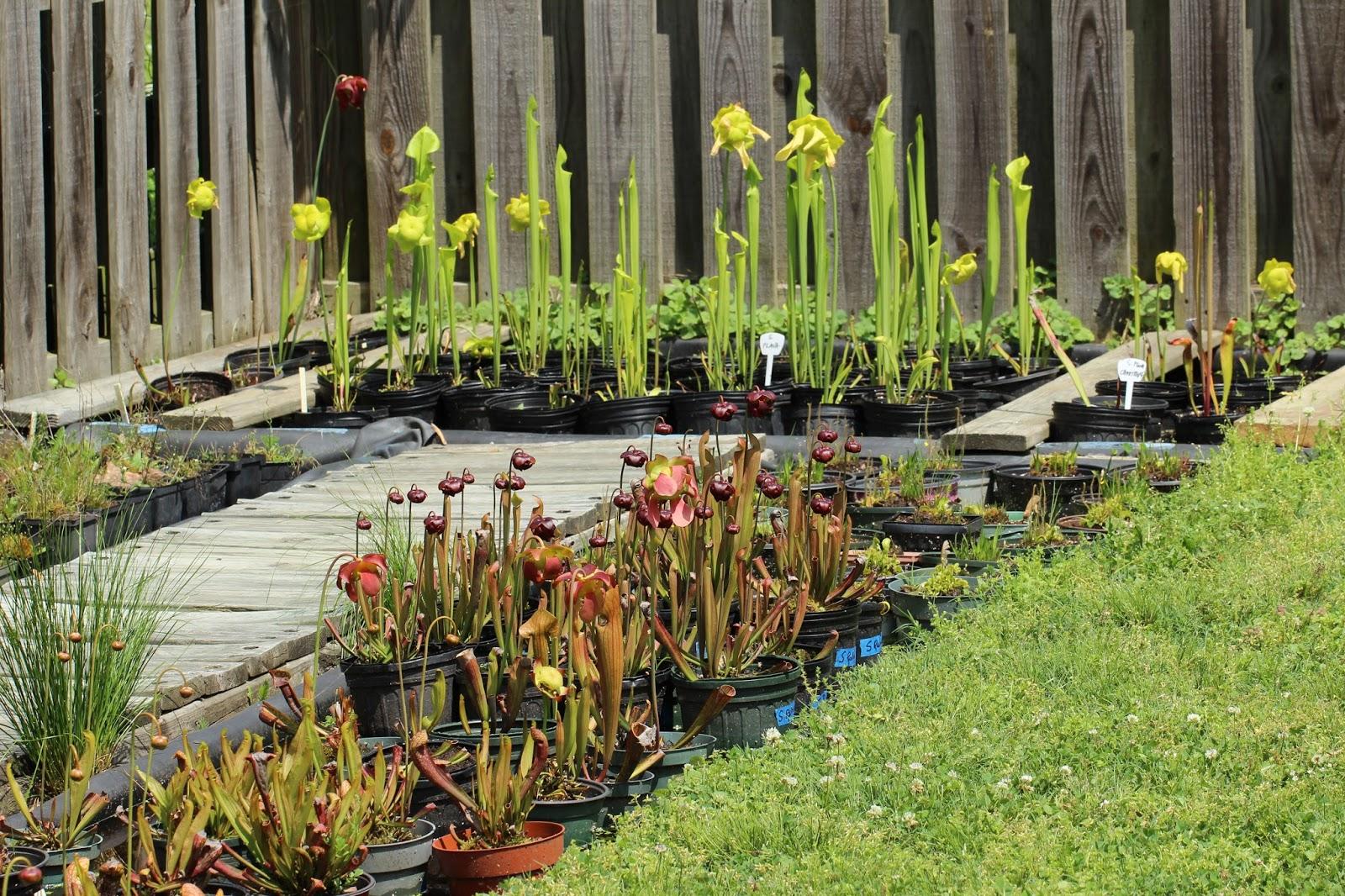 Sarracenia At Forest Lane Botanicals