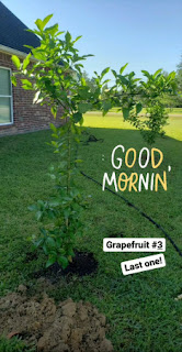 the last grapefruit tree