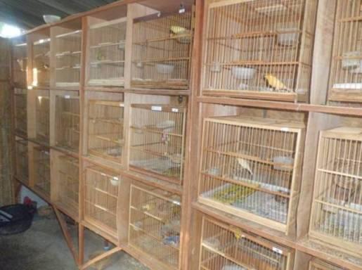Cara ternak burung kenari terlengkap dan harga kenari 2017