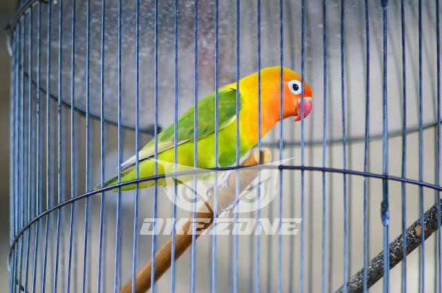Bolehkah Juri Bawa Burung Sendiri & Dinilai Saat Dia Bertugas?