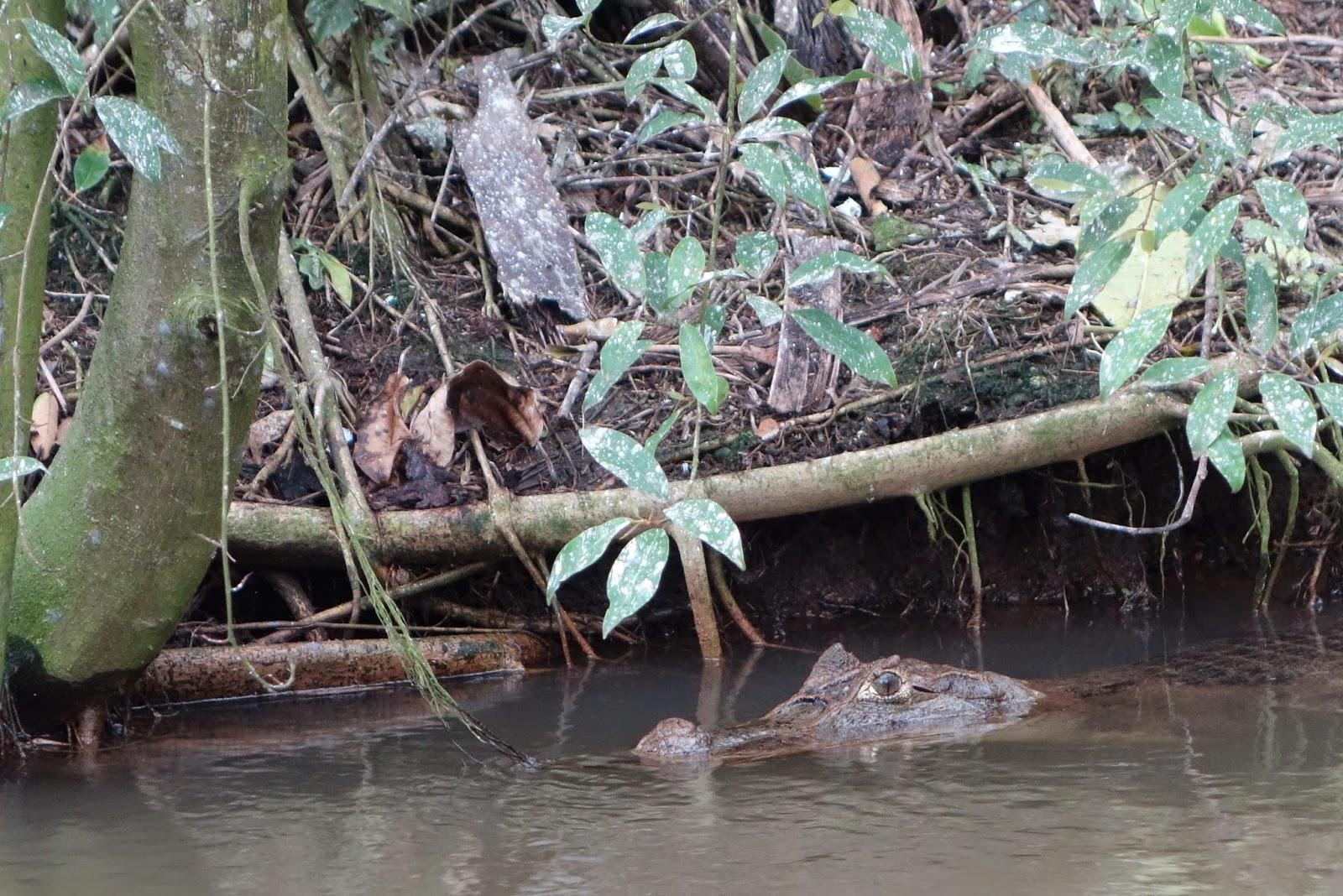 voir aligator costa rica