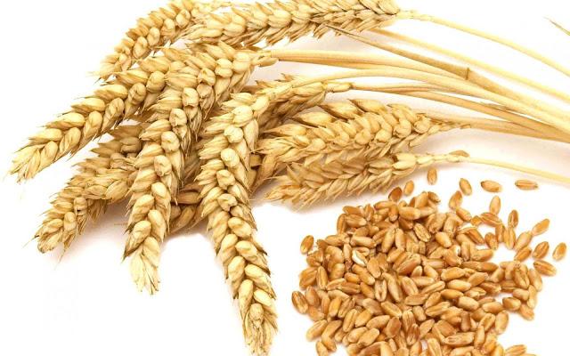 manfaat dan khasiat gandum bagi tubuh