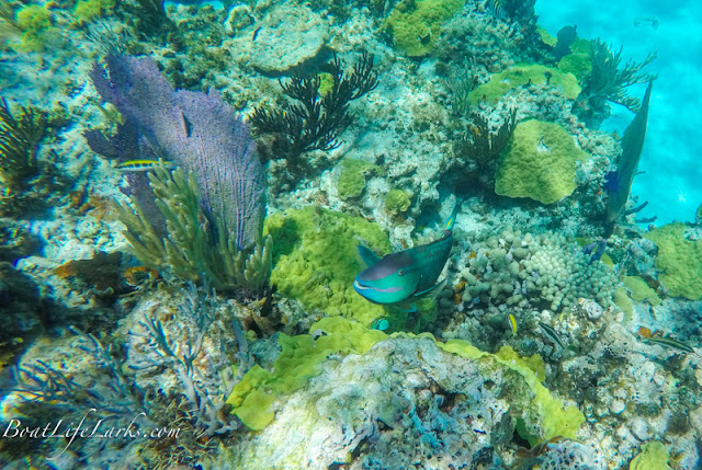Parrot fish, Fowl Cay Snorkeling, Abacos