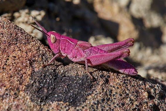 Violetter Wiesengrashüpfer (Chorthippus dorsatus) im Goldauer Bergsturzgebiet