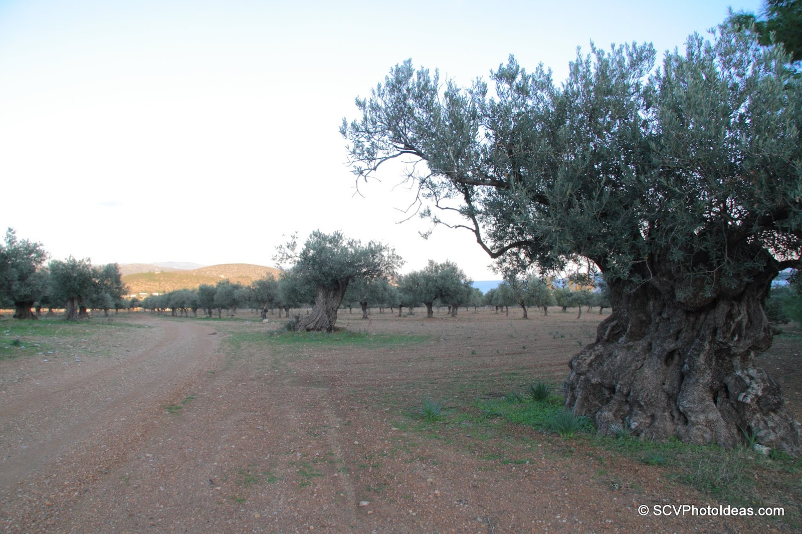Olive groves with ancient guardians Olives