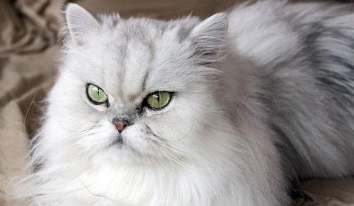 5 Cara Menjinakkan Kucing Persia Liar Agar Tidak Nakal