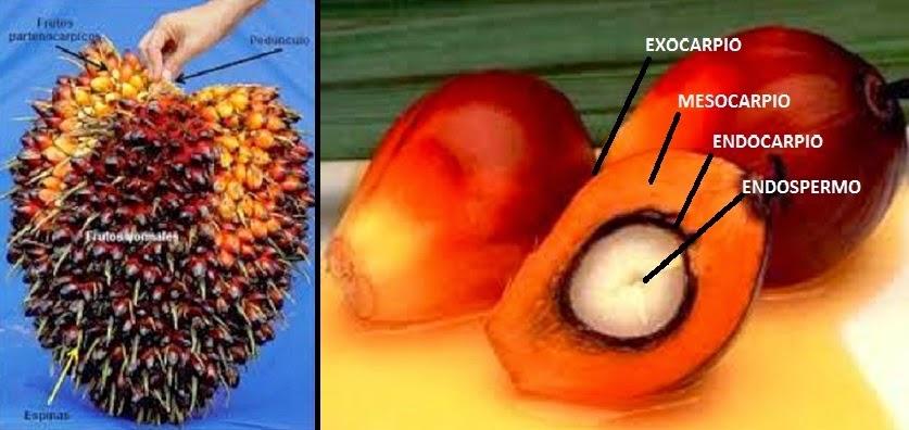 Fruta de donde se extrae el aceite de palma