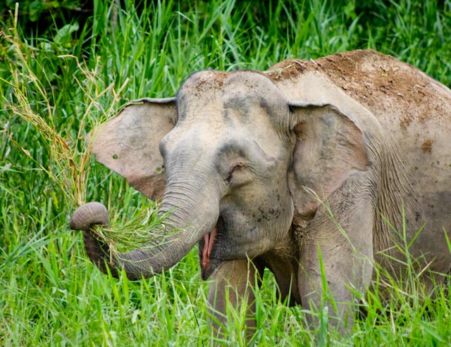 Pygmy Elephants are a Real Thing | Viral Read