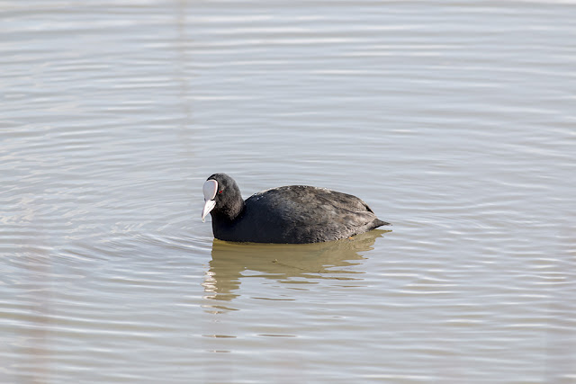 Common Coot in Front of Aqueduct Hide