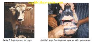 şap hastalığı tedavisi