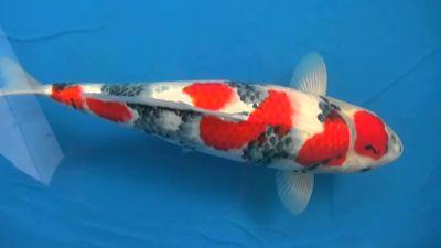 Ragam dan jenis ikan koi terbaik asli negeri jepang ikan for Black dragon koi