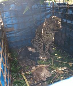 Macan Tutul Ditangkap Warga Cikupa