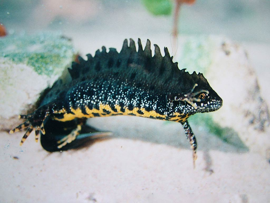 Newts Wallpapers | Fun Animals Wiki, Videos, Pictures, Stories