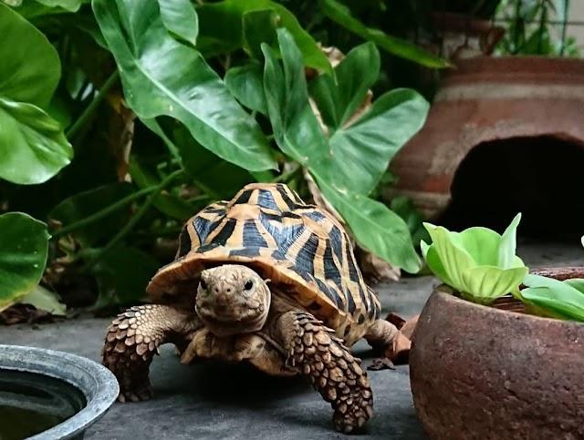 Chế độ và tần suất ăn rùa Sao Ấn