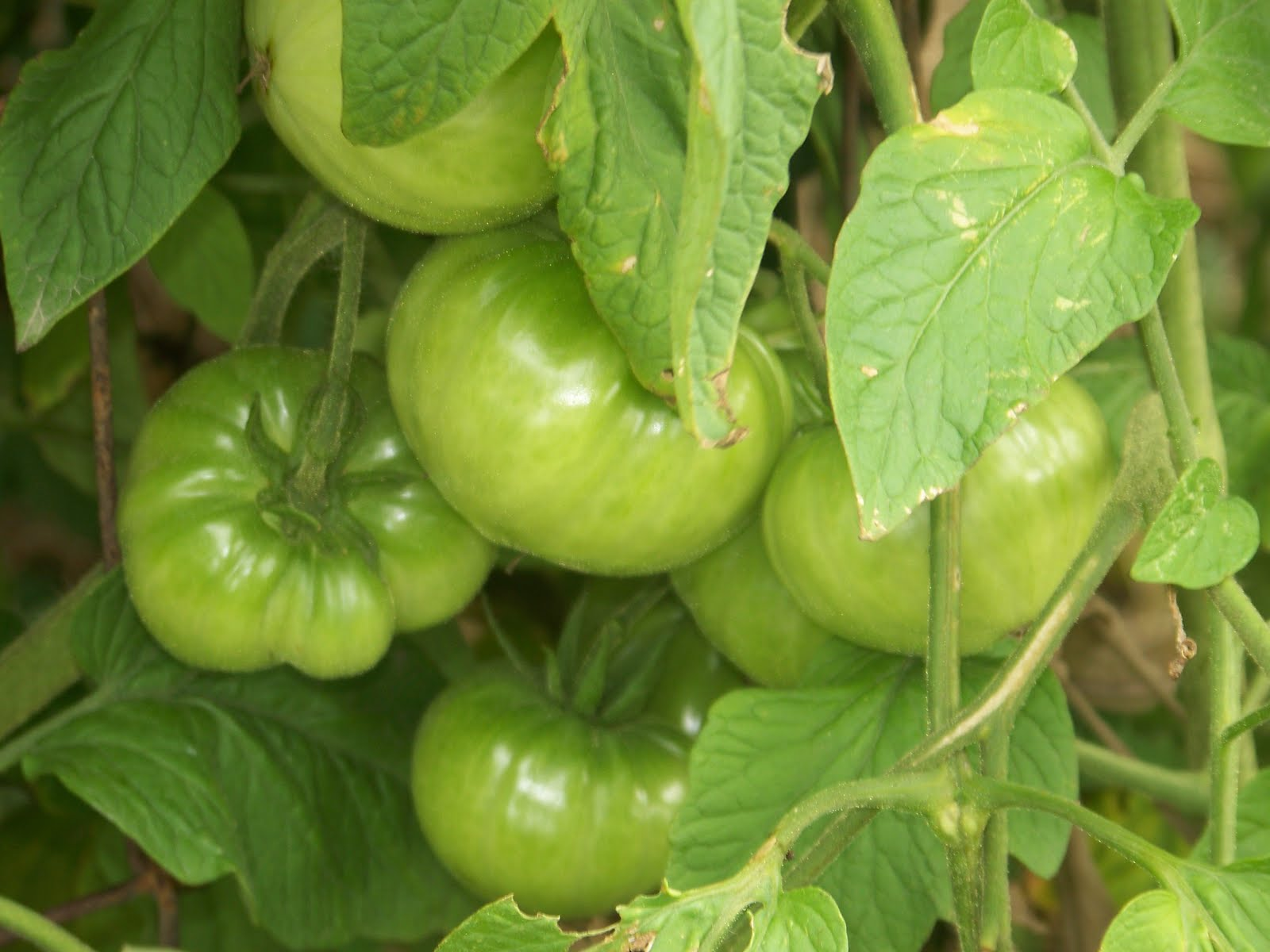 Hickery Holler Farm: Green tomato recipes