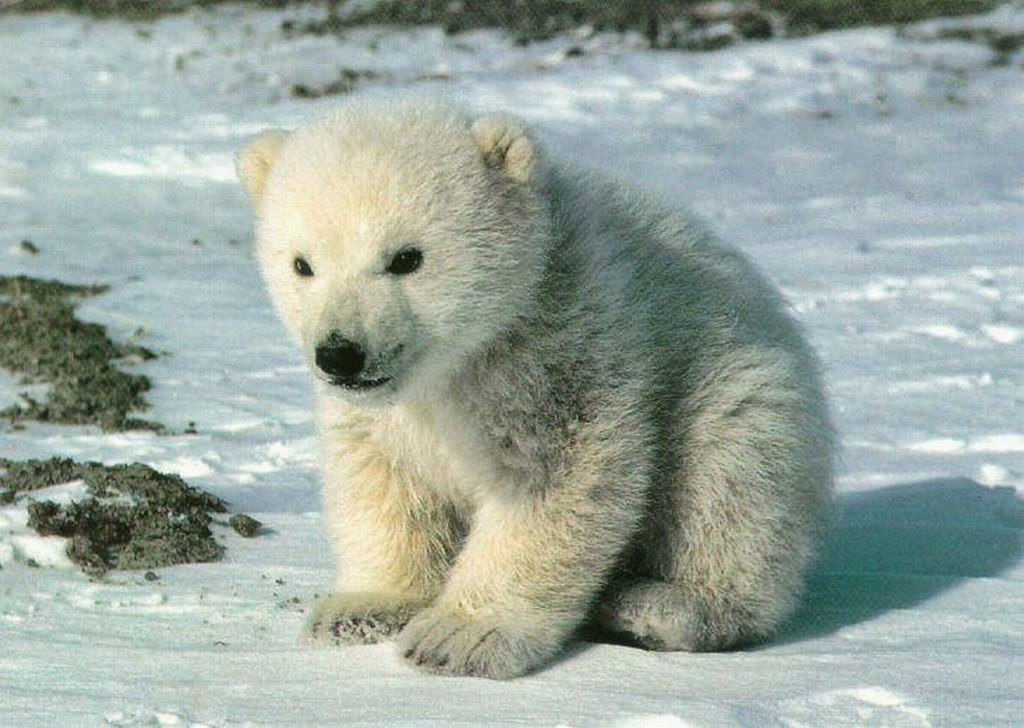 Over 33, Baby bear pictures to choose from, with no signup needed. Download in under 30 seconds. Baby bear Stock Photo Images. 33, Baby bear royalty free pictures and photos available to download from thousands of stock photographers.
