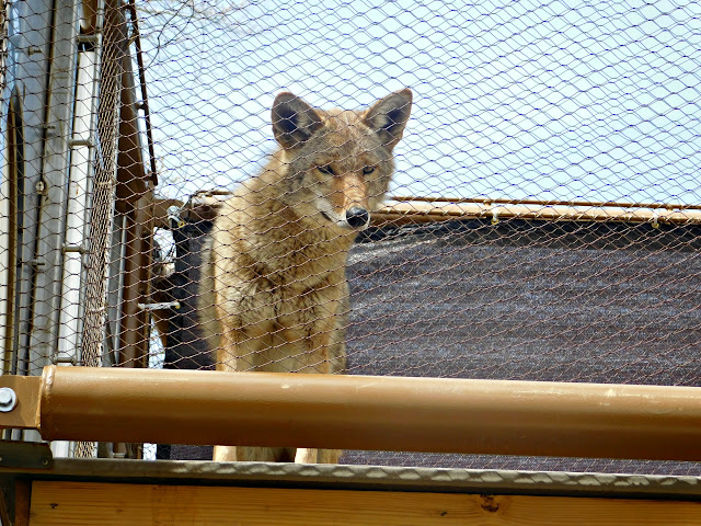 Cleveland Museum of Natural History #CMNH100 | Coyote close-up
