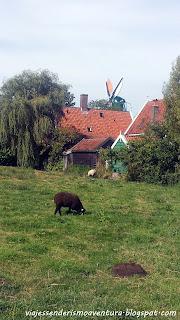 Oveja con molino de viento de fondo en Zaanse Schans