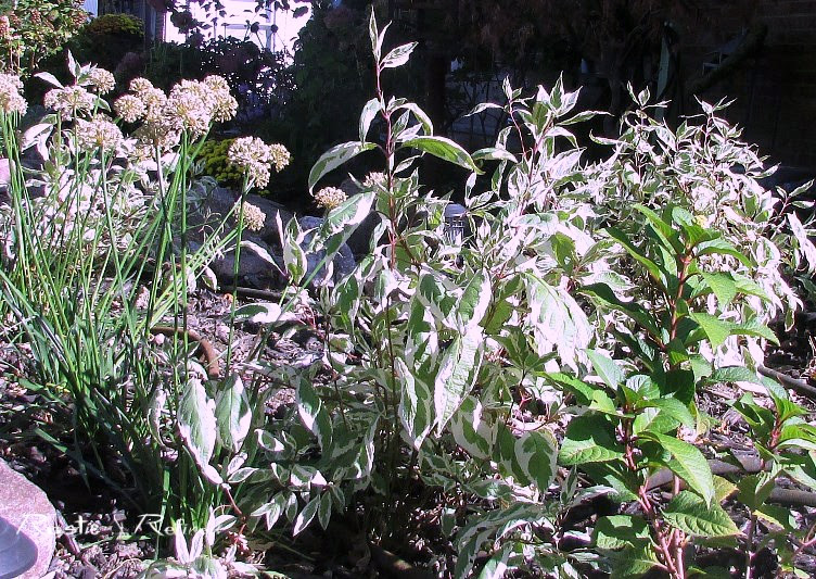 Shrubs for great texture in the flowerbeds