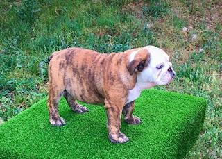 cachorro bulldog ingles valencia
