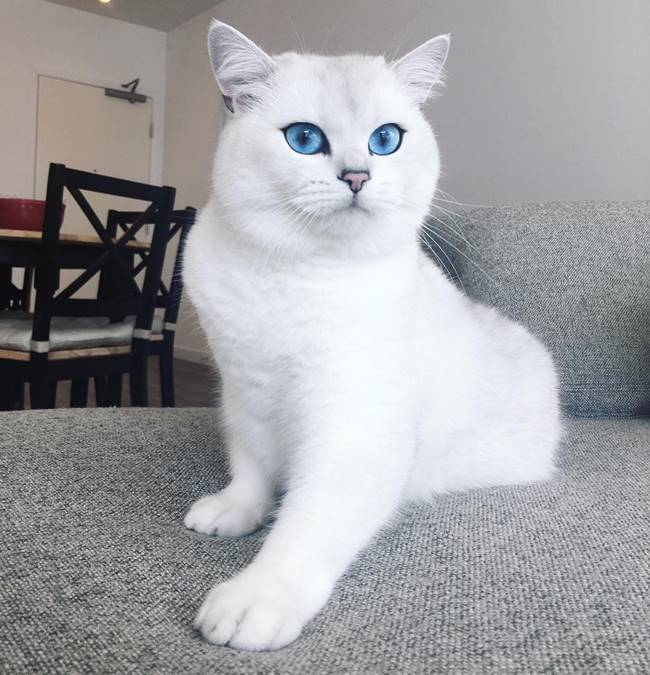 Coby, the British Shorthair cat, whose breathtaking blue eyes