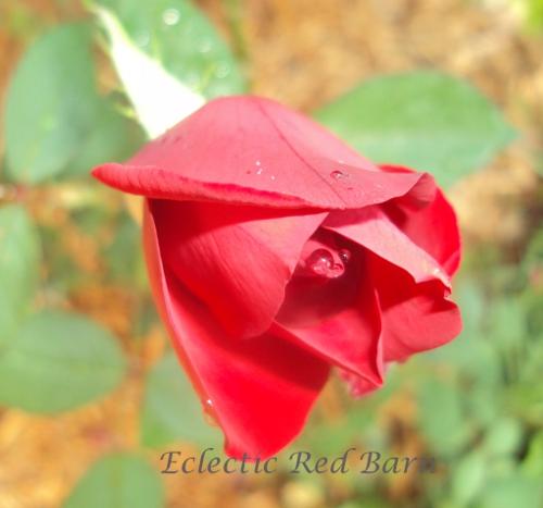 Red rose symbol of love