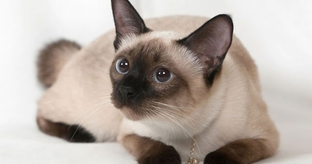 about-siamese-cats-breeds-info