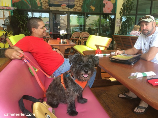 Oz the Terrier at Muddy Waters dog-friendly restaurant, Deerfield Beach, Florida