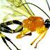Σπάνιο είδος σφήκας που μετατρέπει τις αράχνες σε... ζόμπι ανακαλύφθηκε στον Αμαζόνιο