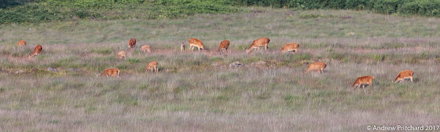 A large group of hinds and calves grazing on the grasslands in front of the edge behind them, near to the woods where many of the calves were probably birthed.
