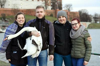 Fot. Ornitolog Szczecin, Łabędź niemy zaobrączkowany pod Wawelem