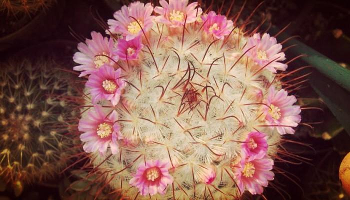 Mammillaria cuidados
