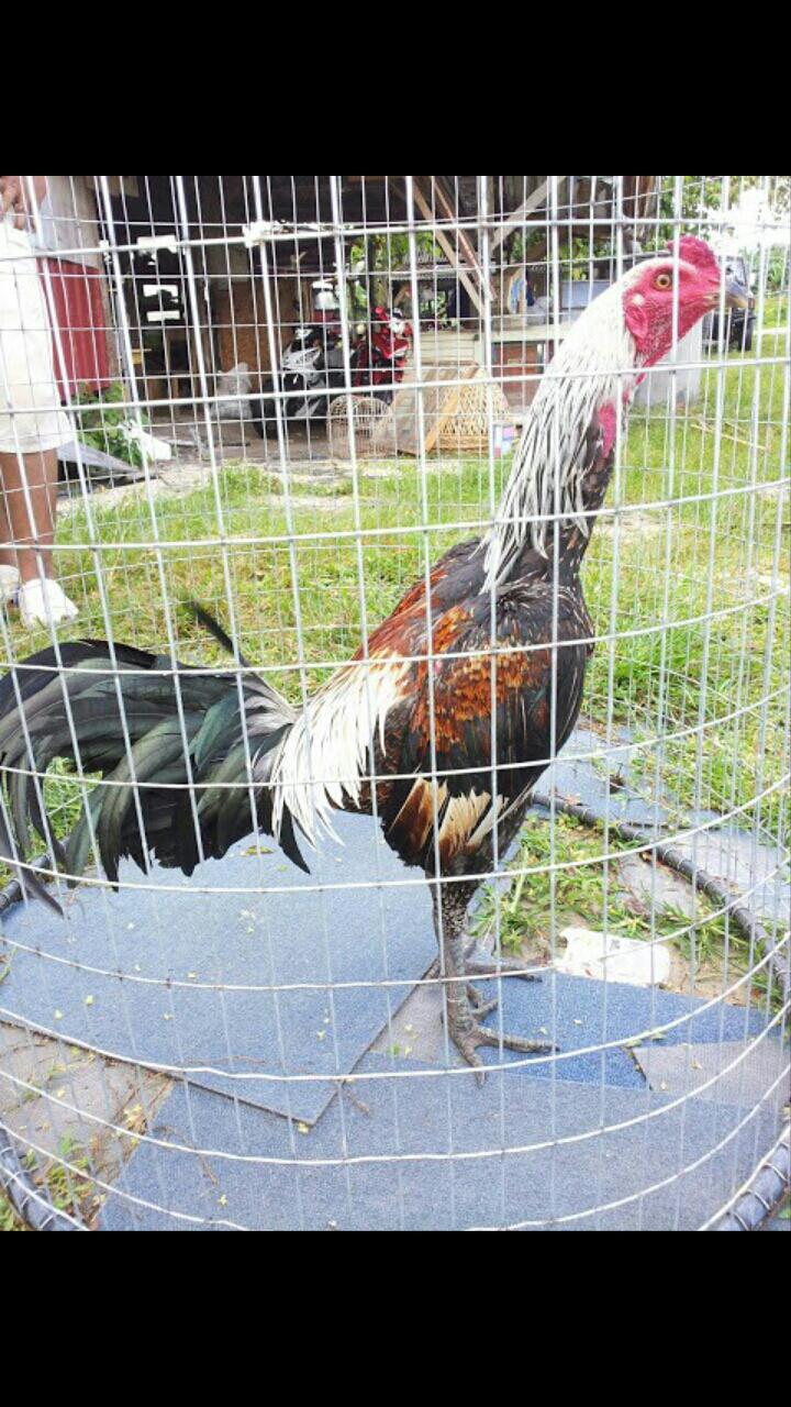 Ayam Sabung Ipoh Pama Reverse