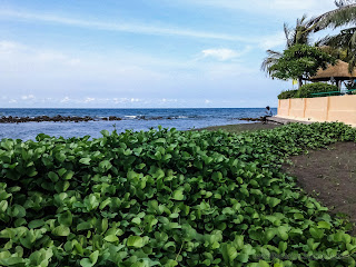 Ipomoea Pes Caprae Or Beach Morning Glory Plants Grow Fresh In Front Of The Beach At Umeanyar Village, North Bali, Indonesia